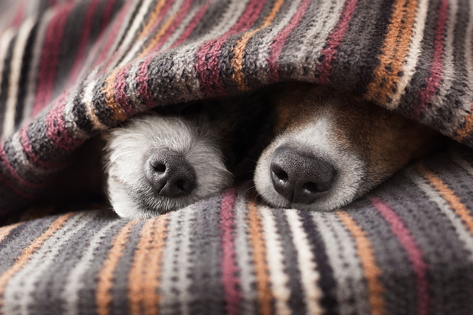 Two dogs sleeping under blankets
