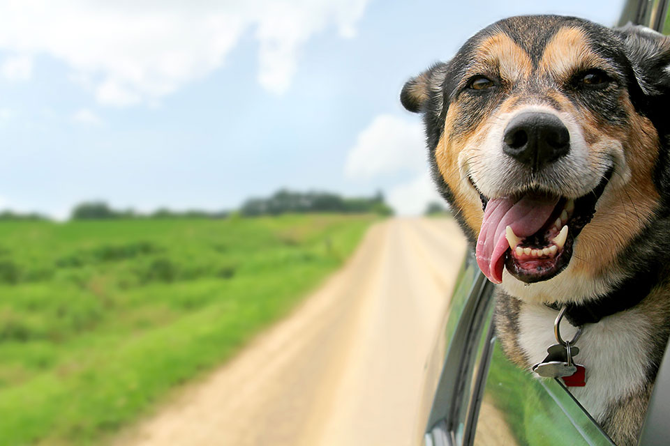 Dog hanging head out car window