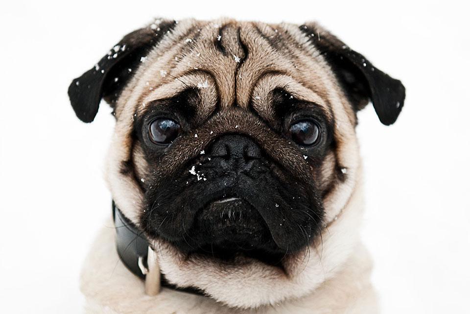 close up of a pug